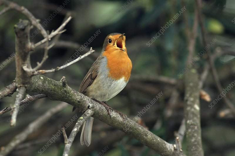 European robin singing