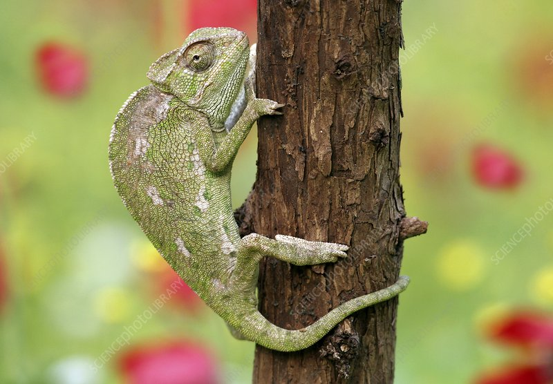 Common chameleon on a tree