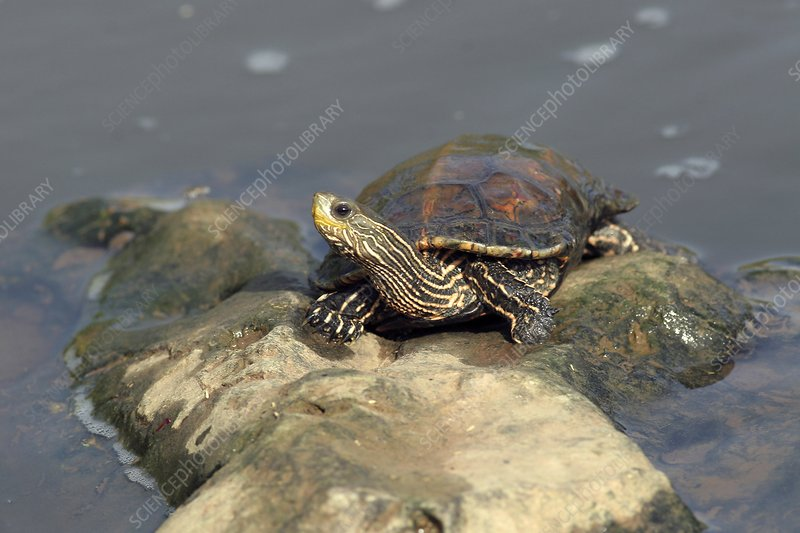 Caspian turtle on a rock in a lake