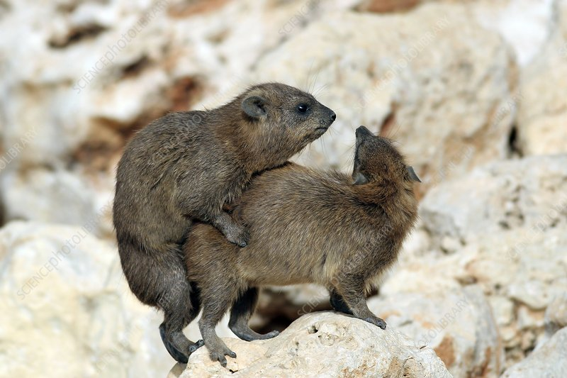 Rock hyraxes mating