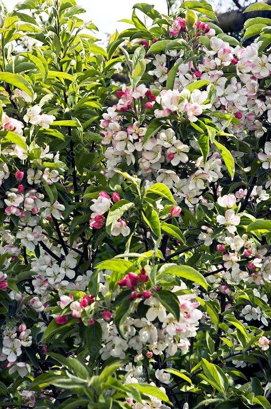 Apple blossom (Malus 'Pom Zai')