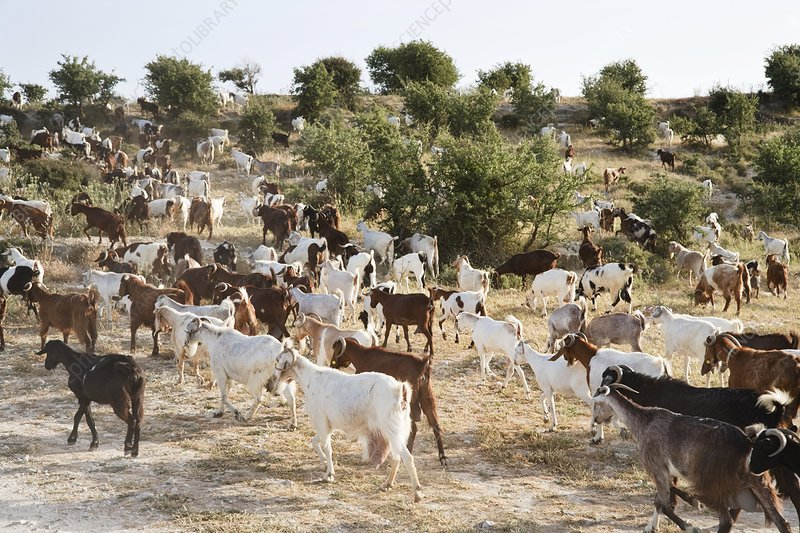 A large herd of mediterranean goats