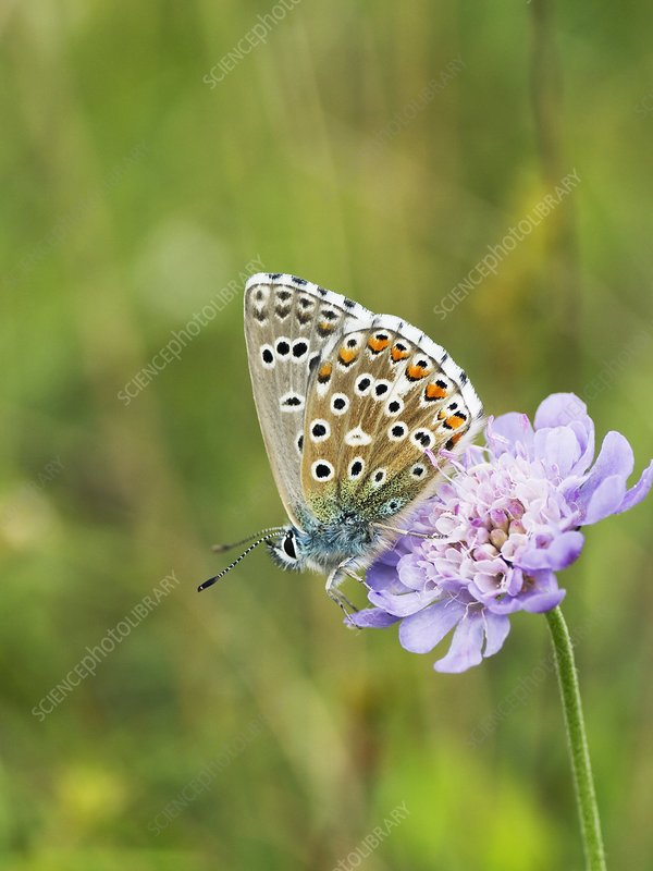 Butterfly feeding on Small Scabious