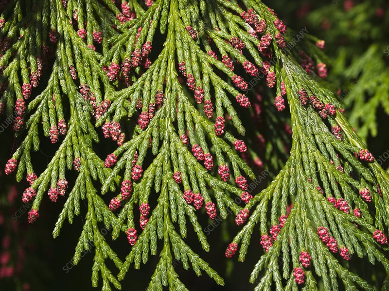 Chamecyparis lawsoniana