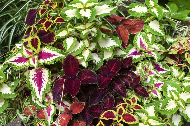 Painted Nettles (Coleus sp.)