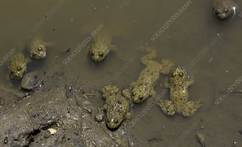 Yellow-bellied toads in shallow water