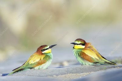 Bee-eaters
