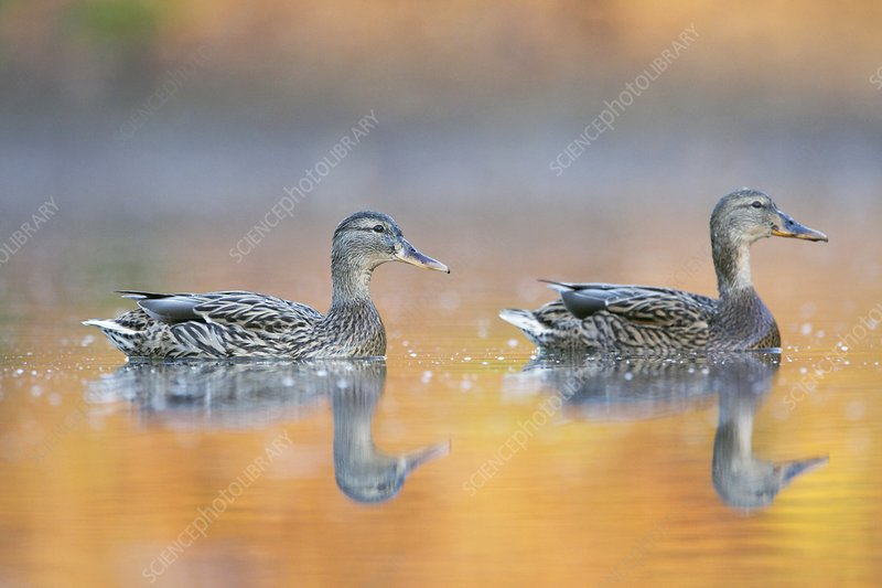 Female mallard ducks