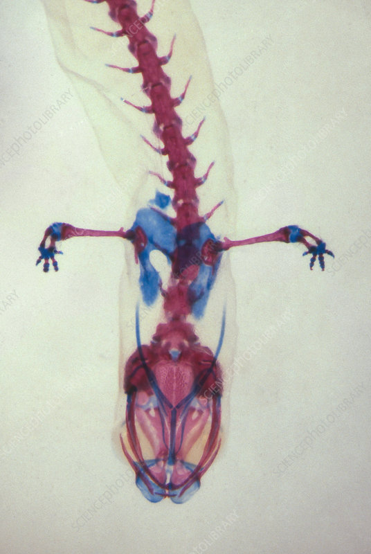 Salamander Skeleton