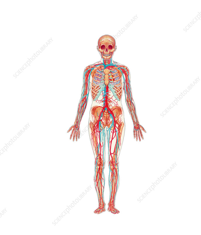 Skeletal and Cardiovascular System (Front