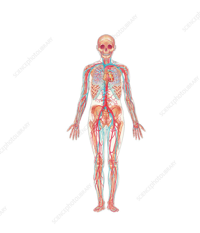 Stock Illustration Stroke Brain Artery Cerebral Atherosclerosis Progression Step Step Finnaly Thrombus Image60600868 additionally Generateexhibit in addition Stock Illustration Diagram Showing Human Body Systems Illustration Image76864413 likewise 27 also Enlarge. on circulatory system drawing