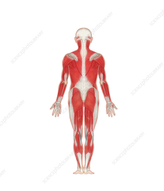 Human Musculature (Rear View)
