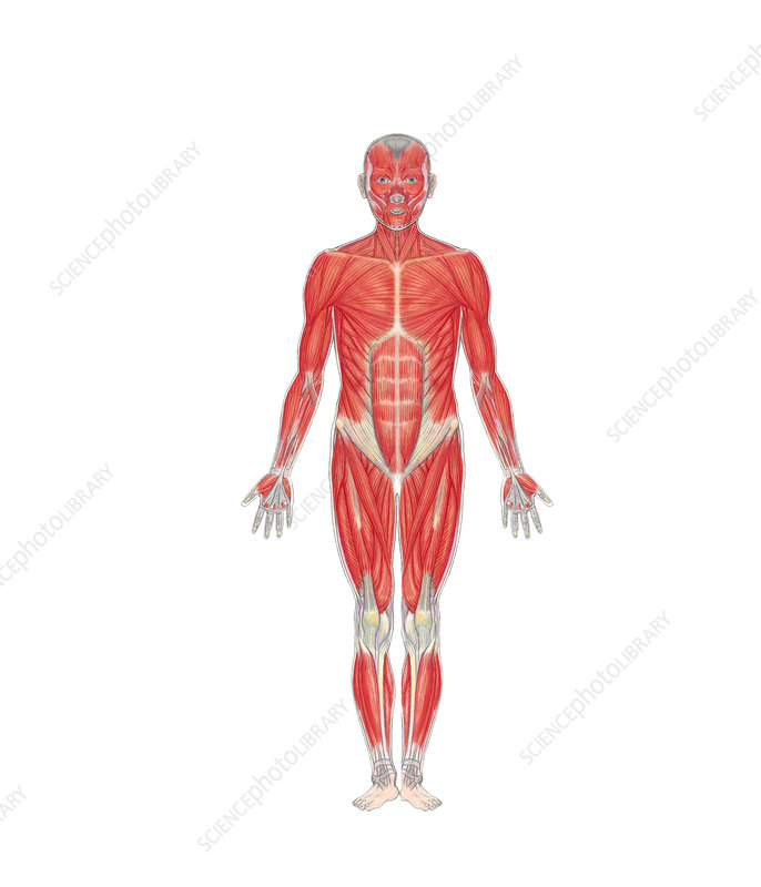 Human Musculature (Front View)