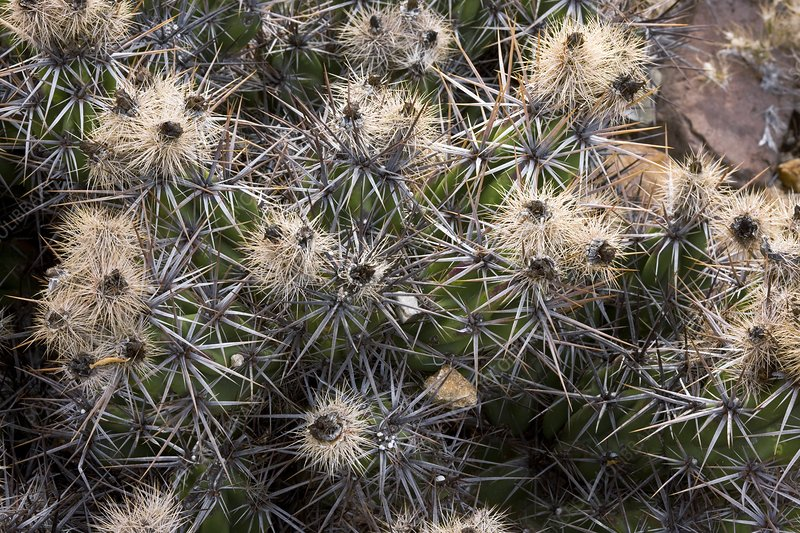 Devil's Club cactus (Gousonia invicta)