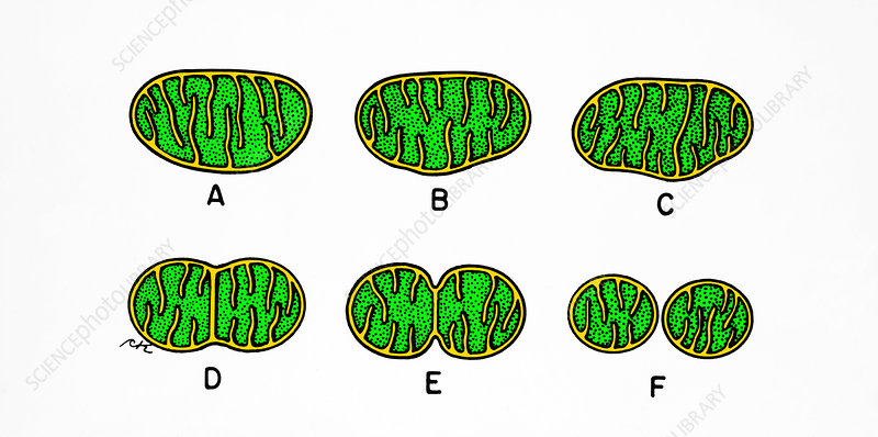 Mitochondrial Division - Stock Image - C003  5233