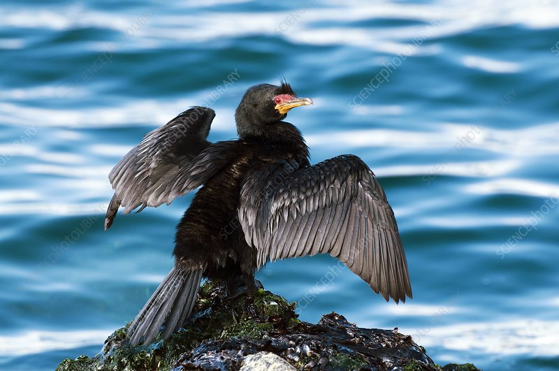 Crowned cormorant stretching its wings