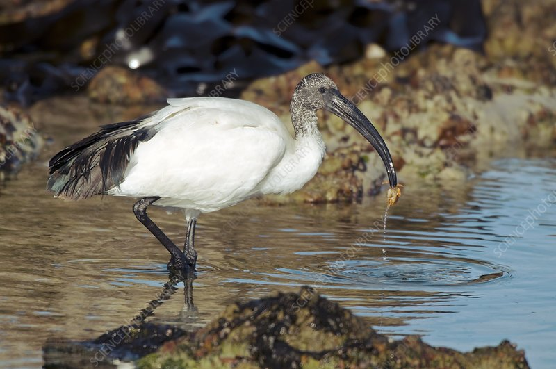 Sacred ibis eating a crab