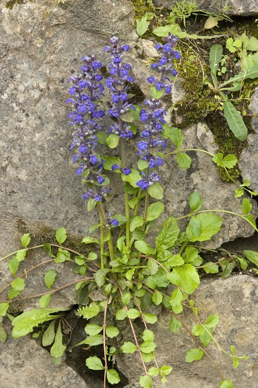 Common Bugle (Ajuga reptans)