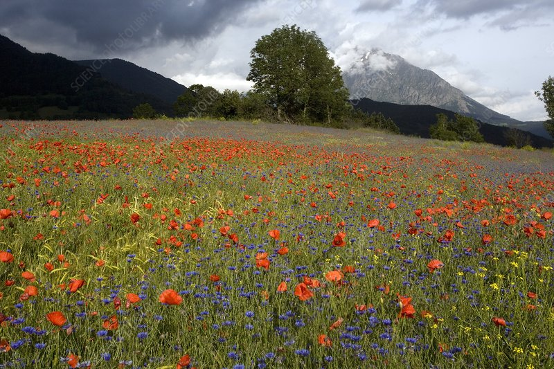 Cornfield meadow in France