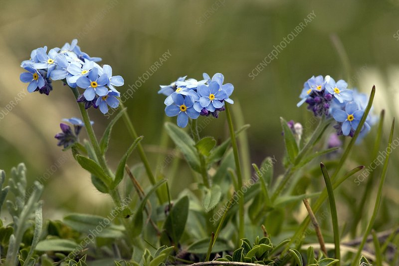 Alpine Forget-me-not (Myosotis alpestris)