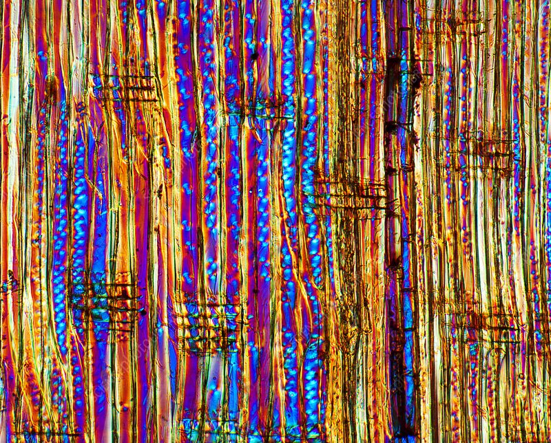 Pine wood structure, light micrograph