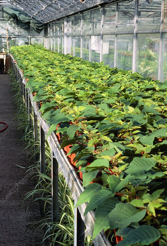 Poinsettia plants in a greenhouse