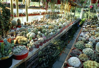 Cactus collection in a greenhouse