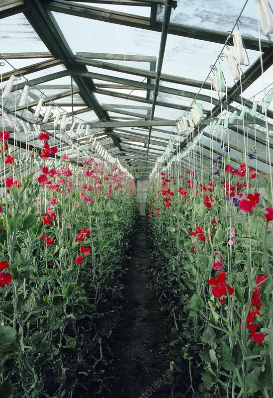Sweet pea plants in a greenhouse