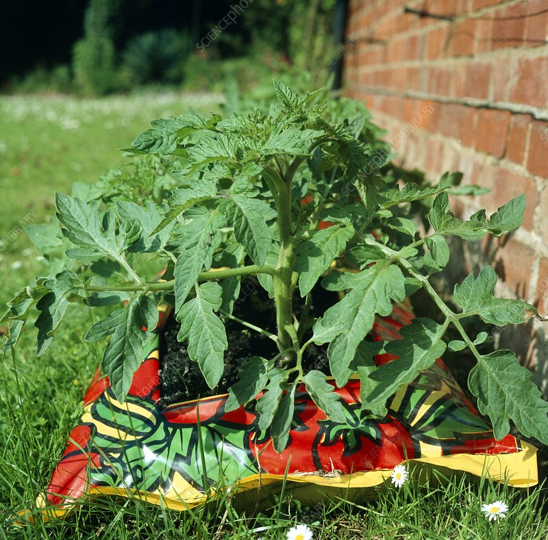 Tomato plants growing in a growbag