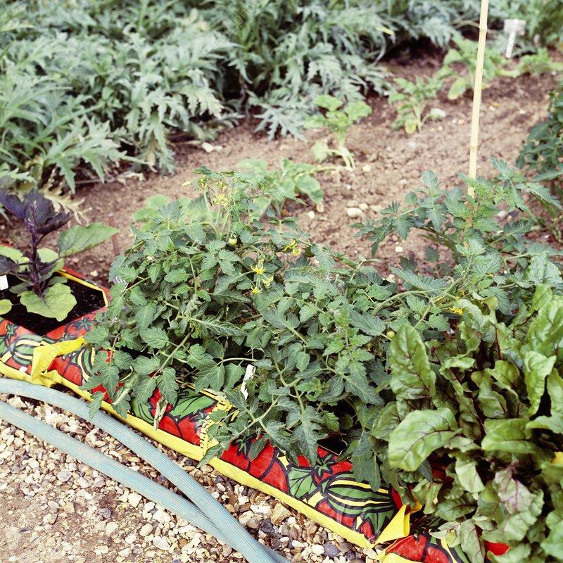 Vegetable plants growing in growbags