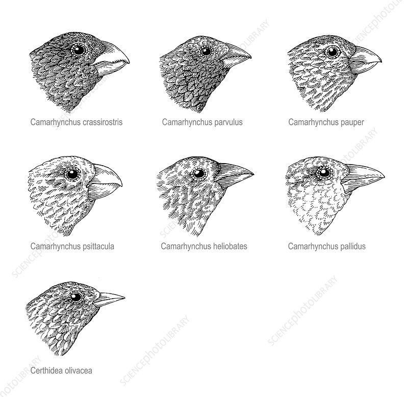 Galapagos finches, artwork