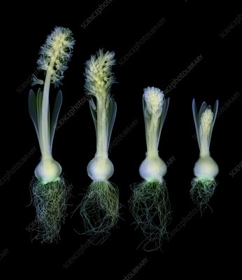 Hyacinth plants, coloured X-ray