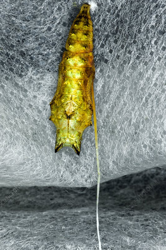 Chrysalis infected with parasitic larvae
