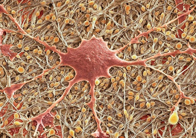 Glial cells, SEM