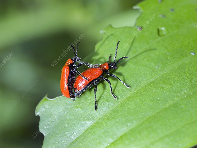 Mating Lily Beetles