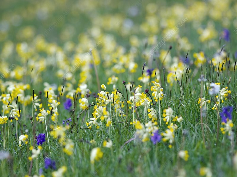 Field of Cowslips and orchids