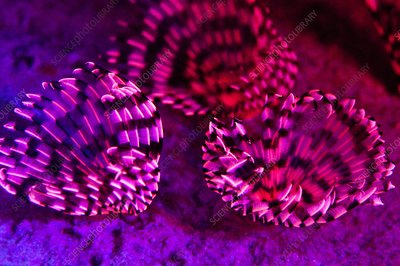 Fluorescing tubeworms, Red Sea, Egypt