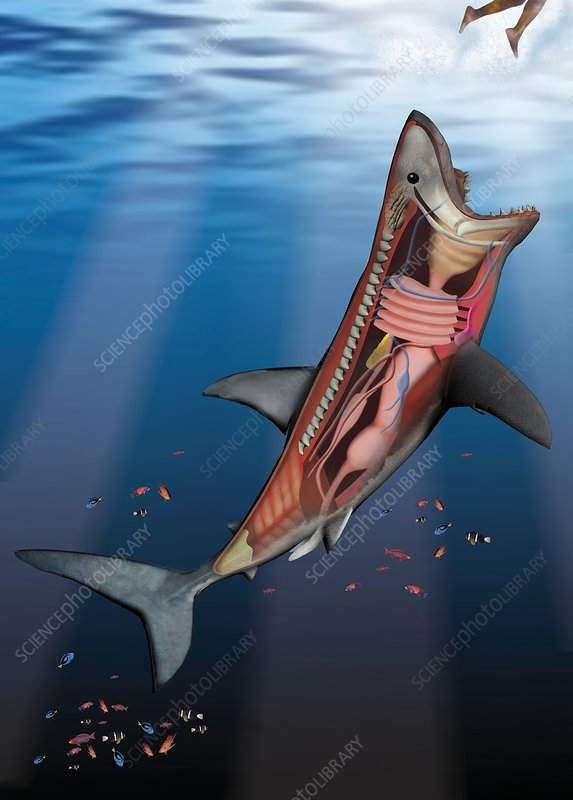 Great white shark anatomy, artwork - Stock Image C003/6119 - Science ...