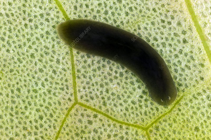 Flatworm on a leaf