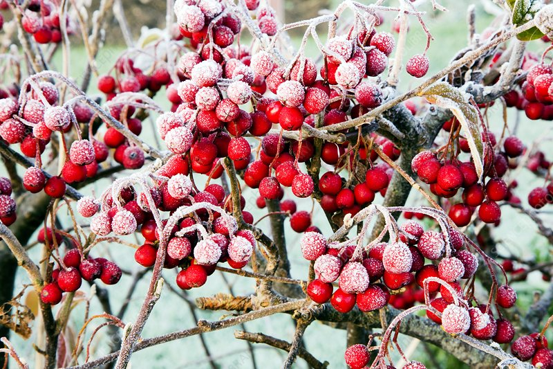 Frosted Viburnum fruit