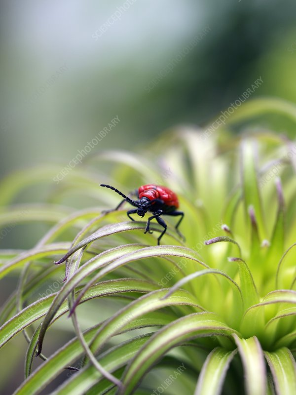 Lily beetle on a lilly (Lilium regale)