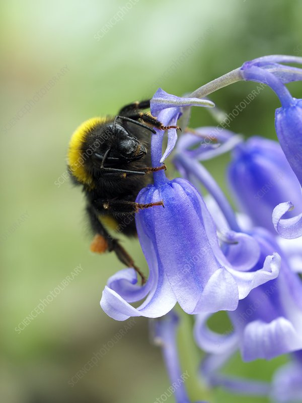Bumblebee resting on a bluebell