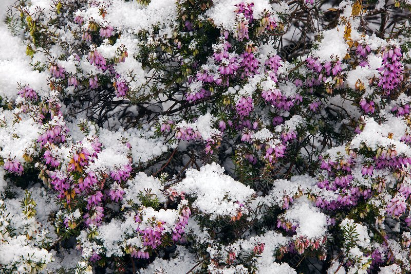 Heather flowers covered in snow