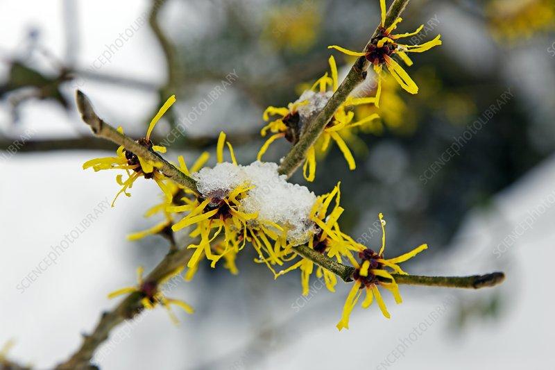 Witch-hazel flowers and snow