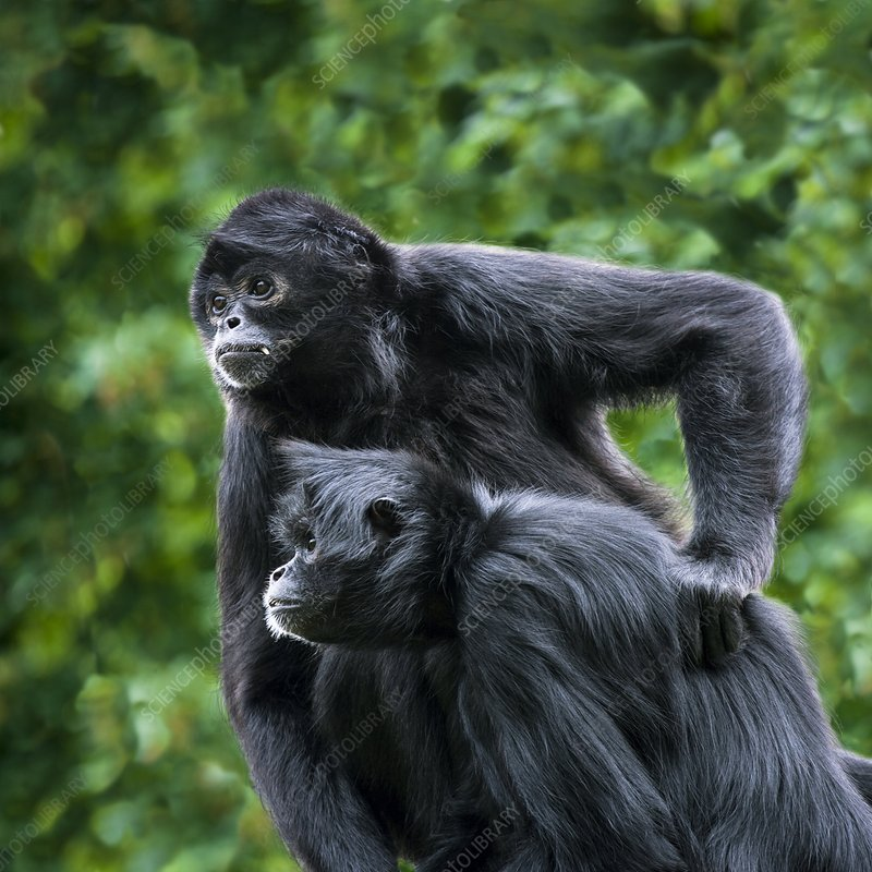 Colombian black-faced spider monkeys