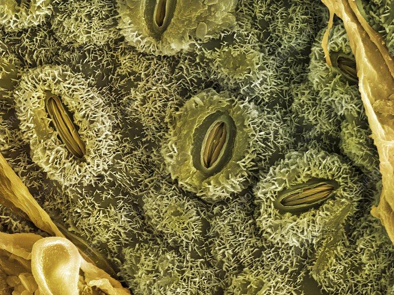 English oak leaf pores, SEM