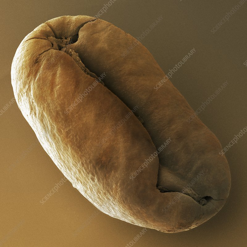 Roasted coffee bean, SEM