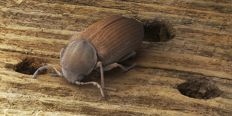 Common furniture beetle, SEM