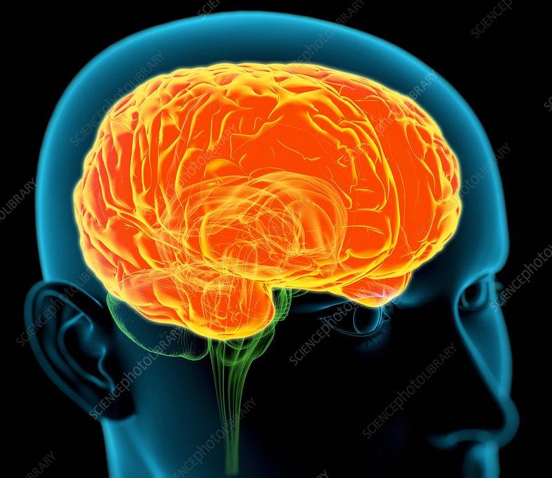 Human brain, artwork