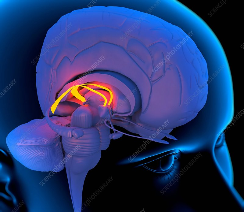 Fornix in the brain, artwork
